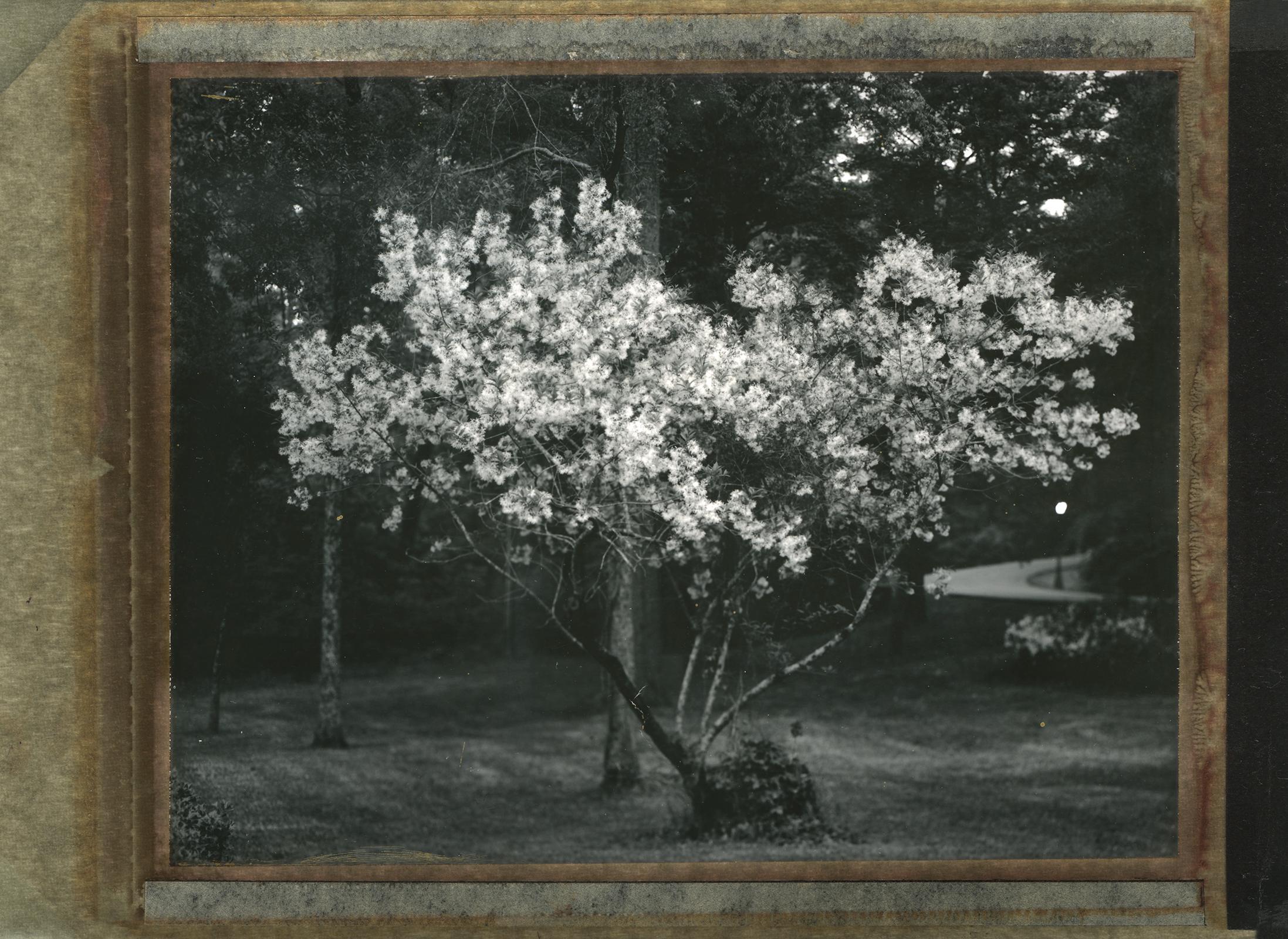 Murphy_Yard_treeSM